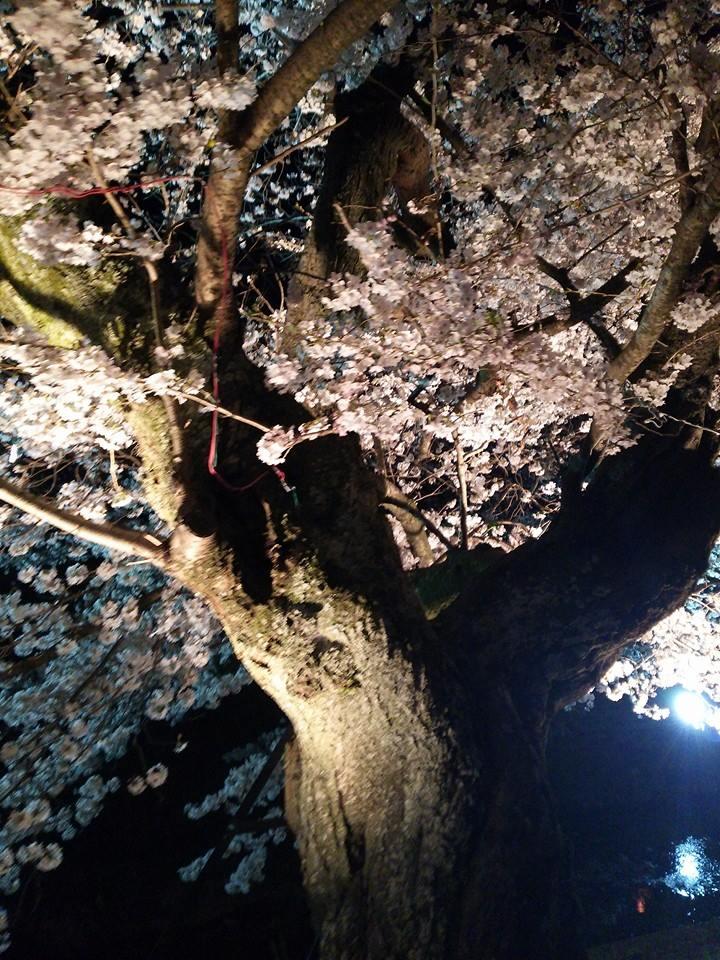 2016 桜2