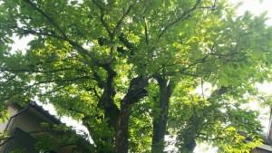 柿の木2015初夏